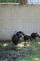 Wild turkeys foraging in an urban community. (Belinda Messenger-Sikes)