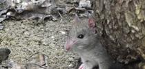 Fig. 1 Roof rat. (Photo: Niamh Quinn) for Pests in the Urban Landscape Blog