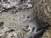 Fig. 1 Roof rat. (Photo: Niamh Quinn)