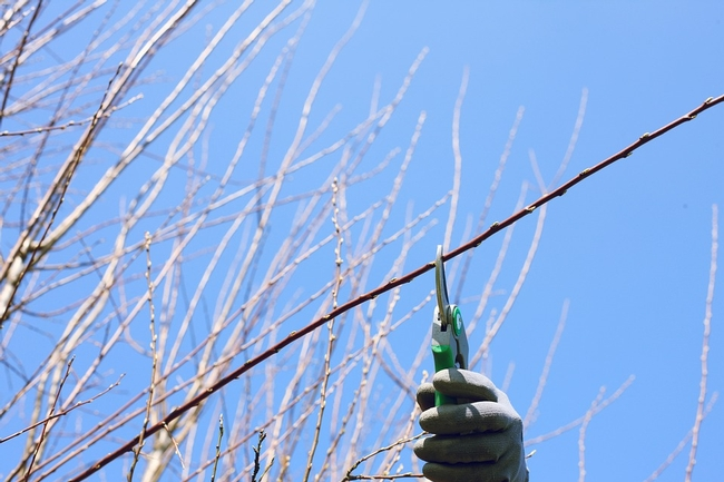 Pruning a tree. (Photo: Pixabay) for Pests in the Urban Landscape Blog