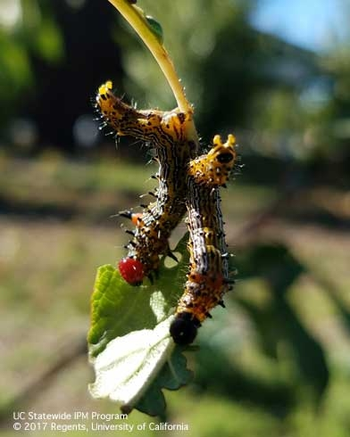 Two redhumped caterpillar larvae on a plum branch. (Photo: Belinda Messenger-Sikes) for Pests in the Urban Landscape Blog