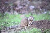 Adult ground squirrel. (Credit: Jack Kelly Clark)