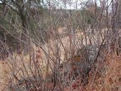 Poison oak stalks after leaf loss. (Credit: Anne McTavish)
