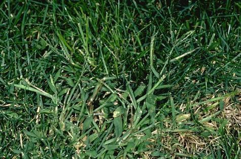 Fig 1. Large crabgrass. (Credit: Clyde Elmore) for Pests in the Urban Landscape Blog