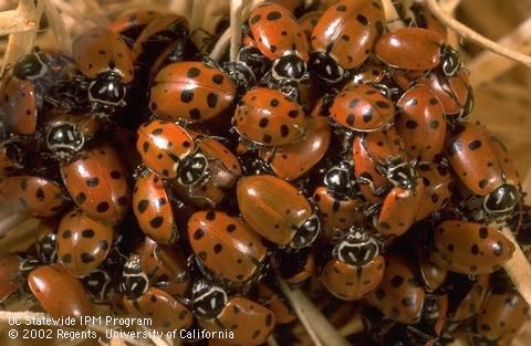 Lady beetles. (Credit: Jack Kelly Clark)