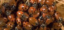 Lady beetles. (Credit: Jack Kelly Clark) for Pests in the Urban Landscape Blog