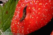 Immature gray garden slug on strawberries. (Credit: Jack Kelly Clark)