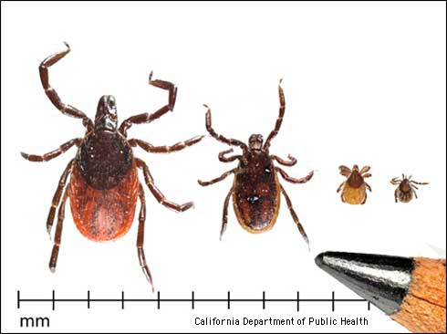Life stages of the western blacklegged tick. From left to right: adult female, adult male, nymph, and larva. (Credit: CA Department of Public Health) for Pests in the Urban Landscape Blog