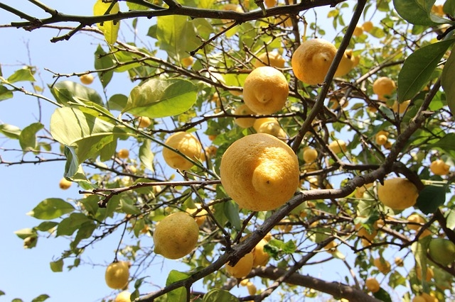 Lemons on a tree. (Credit: Pixabay.com)