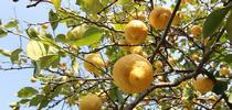 Lemons on a tree. (Credit: Pixabay.com) for Pests in the Urban Landscape Blog