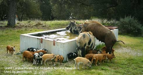 Wild pigs drinking and swimming in a cattle water trough. (Credit: Grant Canova-Parker) for Pests in the Urban Landscape Blog