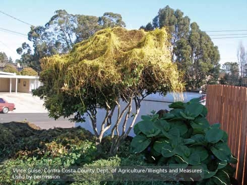 Spaghettilike stems of Japanese dodder growing on a tree. (Credit: Vince Guise) for Pests in the Urban Landscape Blog