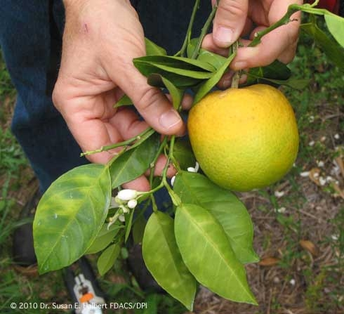 Huanglongbing, the disease carried by the Asian citrus psyllid, causes asymmetrical yellow mottling of leaves and odd shape and greening of fruit. (Credit: Dr. Susan E. Halbert) for Pests in the Urban Landscape Blog