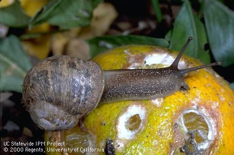 If you've got a great recipe for invasive brown garden snail, the webiste Eat the Invaders wants to know! Don't bring snails and other animals into California for food. That's how the brown garden snail ended up here in the 1850's. (Credit: Jack Kelly Clark) for Pests in the Urban Landscape Blog