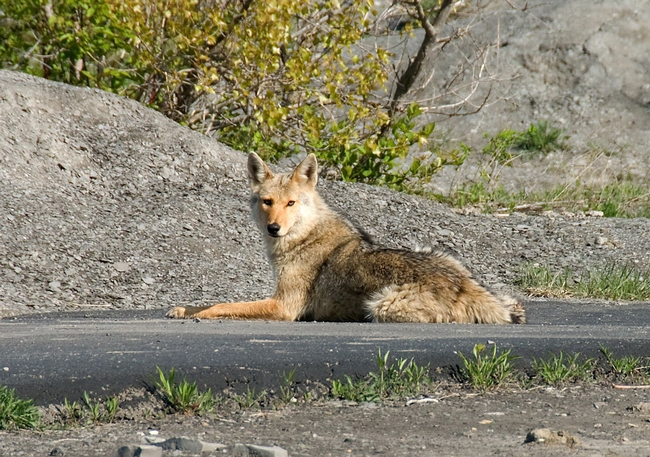 Urban coyote on pathway. (Credit: PxHere.com) for Pests in the Urban Landscape Blog