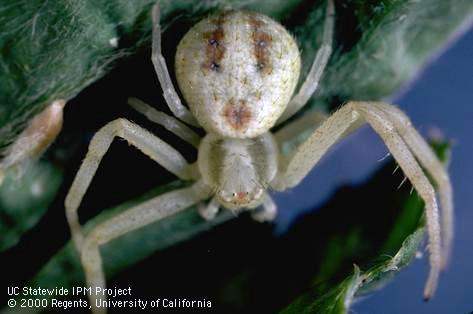 Adult flower or crab spider. (Credit: Jack Kelly Clark) for Pests in the Urban Landscape Blog