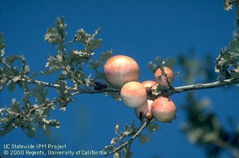 Oak apple galls on valley oak. (Credit: Jack Kelly Clark) for Pests in the Urban Landscape Blog