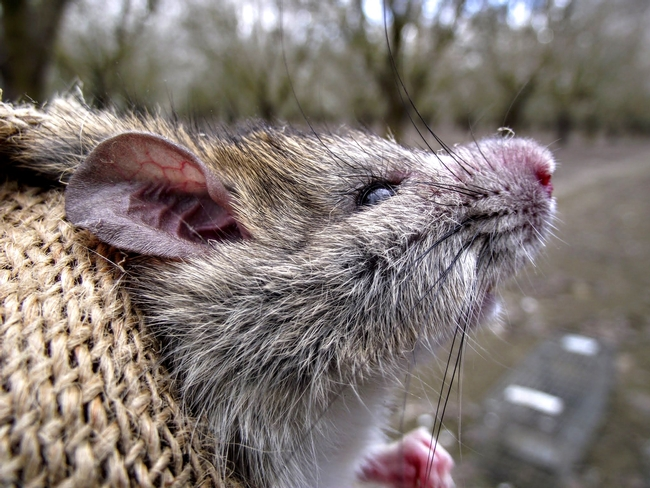 Rat. (Credit: Niamh Quinn) for Pests in the Urban Landscape Blog