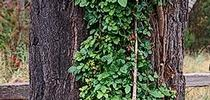 Poison-oak growing on a tree as a climbing vine. (Credit: Joseph M. DiTomaso) for Pests in the Urban Landscape Blog