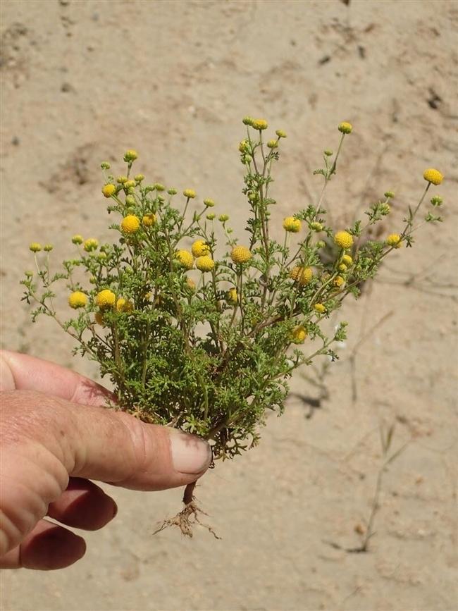 Stinknet plant. (Credit: Ron Vanderhoff) for Pests in the Urban Landscape Blog