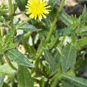 Mature plant of bristly oxtongue. (Credit: Larry L. Strand)