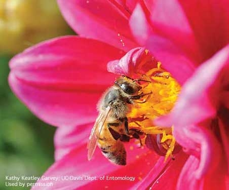Adult honey bee collecting pollen on zinnia. (Credit: Kathy Keatley Garvey) for Pests in the Urban Landscape Blog
