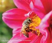 Adult honey bee collecting pollen on zinnia. (Credit: Kathy Keatley Garvey)