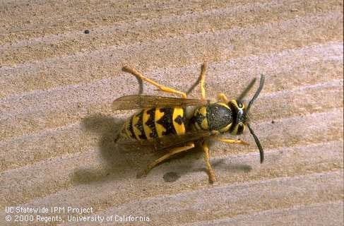 Adult western yellowjacket. (Credit: Jack Kelly Clark) for Pests in the Urban Landscape Blog