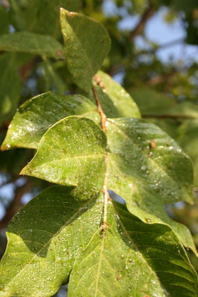 Feeding by aphids created this sticky honeydew on crape myrtle leaves. (Credit: Belinda Messenger-Sikes) for Pests in the Urban Landscape Blog