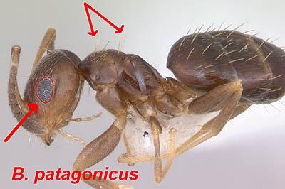 Fig. 2 patagonicusdiagram1