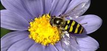 Syphid fly on flower. for Pests in the Urban Landscape Blog