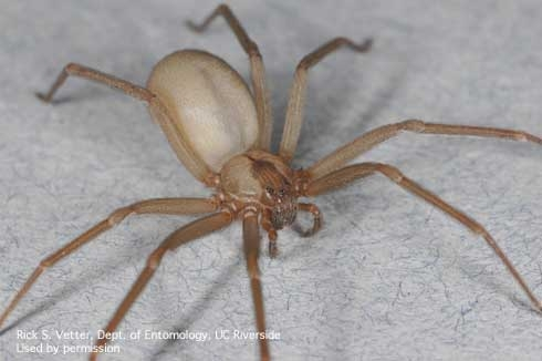 Brown recluse spider. (Credit: Rick Vetter, UCR)