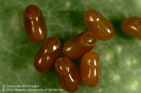 Boxelder bug eggs (Credit: Jack Kelly Clark)