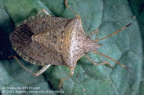 Consperse stink bug adult (Credit: Jack Kelly Clark)