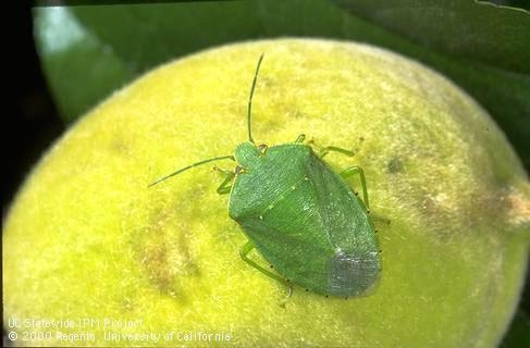 Green stink bug adult (Credit: Jack Kelly Clark)