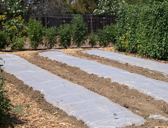 Clear plastic is laid over planting beds to elevate soil temperatures. (Credit: K Windbiel-Rojas) for Pests in the Urban Landscape Blog