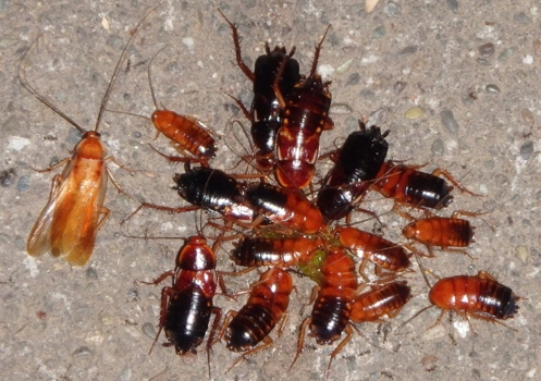 Figure 3. Turkestan cockroaches attracted to spilled food. (Credit: A Sutherland) for Pests in the Urban Landscape Blog