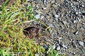 Adult pocket gopher peeking out of a burrow entrance. [Credit: T. Chalmers]