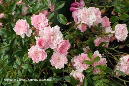Roses for Pests in the Urban Landscape Blog