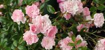Roses for Pests in the Urban Landscape Blog