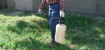 Applying glyphosate from a hand-held sprayer to control weeds. (Credit: CA Reynolds) for Pests in the Urban Landscape Blog