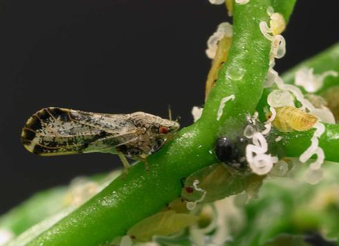 Brown adult, yellow nymphs, and white wax of Asian citrus psyllids.<br>(Credit: M Rogers)