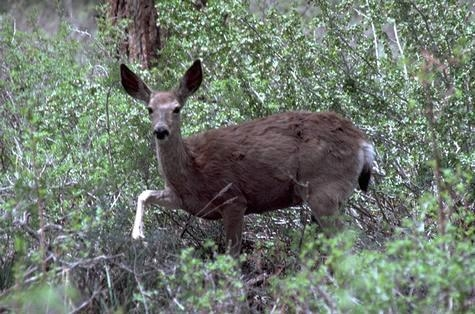Mule deer (Credit: WP Gorenzel) for Pests in the Urban Landscape Blog