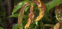Foliage damaged by leaf curl. (Credit: Jack Kelly Clark) for Pests in the Urban Landscape Blog