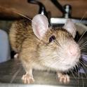 Roof rat on a kitchen sink. (Credit: N Quinn)