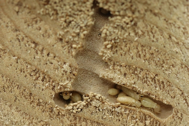 Figure 1: Western drywood termite (<i>Incisitermes minor</i>) immatures. (Credit: S. Taravati)
