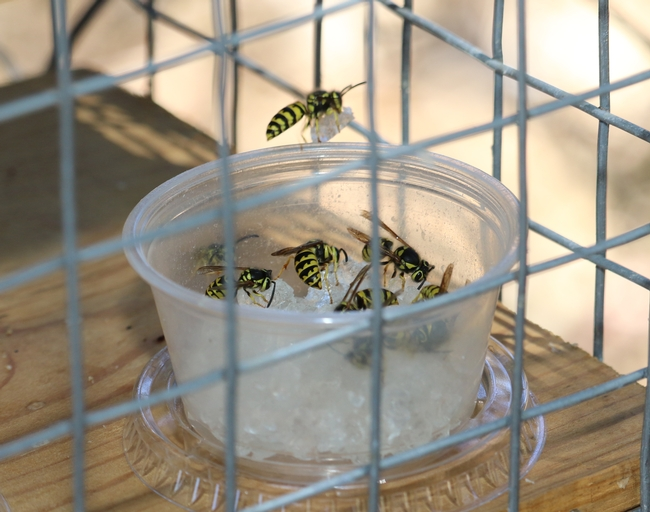Figure 1. Western yellowjacket baiting with the hydrogel bait. After a short handling behavior on the bait, yellowjackets flew away with a small piece of the hydrogel bait. (Credit: DH Choe) for Pests in the Urban Landscape Blog