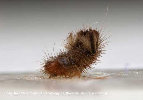 Mature larva of a varied carpet beetle, <i>Anthrenus verbasci.</i> (Credit: DH Choe)
