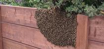 Honey bee swarm on fence. (Credit: D Wolfe) for Pests in the Urban Landscape Blog