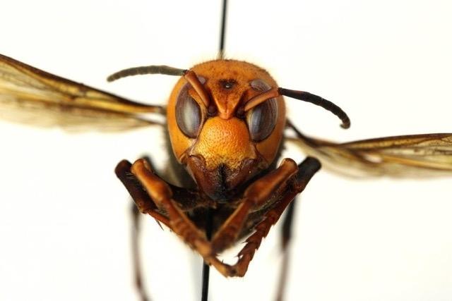 Asian Giant Hornet <i>V. mandarina</i><br>(Credit: Washington State Department of Agriculture) for Pests in the Urban Landscape Blog